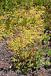 KA_090624_1450 / Drymocallis rupestris / Hvitmure <br /> Phedimus spurius / Gravbergknapp