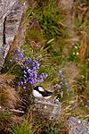 KA_090726_1844 / Campanula rotundifolia / Blåklokke <br /> Fratercula arctica / Lunde