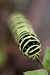 KA_090820_2482 / Papilio machaon / Svalestjert