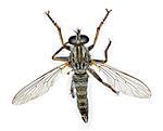 KA_090914_atricapillus_male2_dorsal / Tolmerus atricapillus / Svarthårrovflue