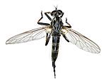 KA_090914_socius_female_dorsal / Neoitamus socius / Gulfotskogrovflue