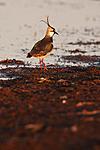 KA_100412_1907 / Vanellus vanellus / Vipe