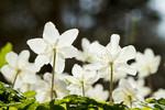 KA_100424_1195 / Anemone nemorosa / Hvitveis