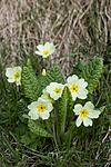 KA_100514_2801 / Primula vulgaris / Kusymre