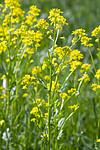 KA_100521_3387 / Barbarea vulgaris / Vinterkarse