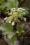 KA_100601_3606 / Viburnum opulus / Korsved