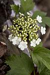 KA_100601_3610 / Viburnum opulus / Korsved