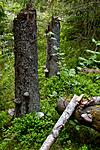 KA_100607_3722 / Fomitopsis pinicola / Rødrandkjuke