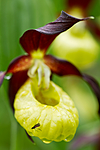 KA_100613_3811 / Cypripedium calceolus / Marisko