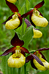 KA_100613_3835 / Cypripedium calceolus / Marisko