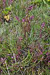 KA_100630_4927 / Centaurium pulchellum / Dverggylden