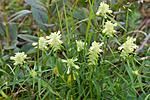 KA_100630_5146 / Melampyrum cristatum / Kammarimjelle