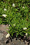 KA_100704_5163 / Ligustrum vulgare / Liguster