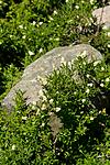KA_100704_5182 / Ligustrum vulgare / Liguster