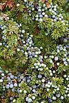 KA_100725_7134 / Juniperus communis / Einer