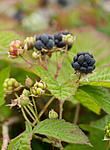 KA_100725_7177 / Rubus caesius / Blåbringebær