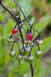 KA_100803_5724 / Solanum dulcamara / Slyngsøtvier