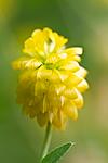 KA_100809_4772 / Trifolium aureum / Gullkløver