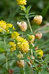 KA_100809_4773 / Trifolium aureum / Gullkløver
