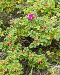 KA_100810_4817 / Rosa rugosa / Rynkerose