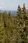 KA_100814_6561 / Picea abies / Gran