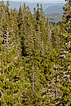 KA_100814_6562 / Picea abies / Gran
