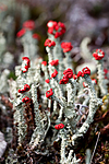 KA_100901_5545 / Cladonia bellidiflora / Blomsterlav