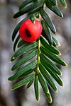 KA_100930_6205 / Taxus baccata / Barlind