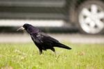 KA_110428_2244 / Corvus frugilegus / Kornkråke