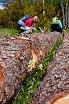 KA_110525_2689 / Dactylorhiza sambucina / Søstermarihand