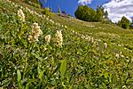 KA_110525_2700 / Dactylorhiza sambucina / Søstermarihand