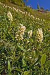 KA_110525_2702 / Dactylorhiza sambucina / Søstermarihand