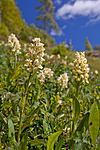 KA_110525_2703 / Dactylorhiza sambucina / Søstermarihand