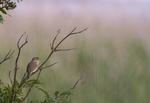 KA_110615_3671 / Acrocephalus palustris / Myrsanger