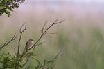KA_110615_3672 / Acrocephalus palustris / Myrsanger