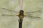 KA_110616_3800 / Libellula quadrimaculata / Firflekklibelle