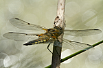 KA_110616_3802 / Libellula quadrimaculata / Firflekklibelle
