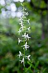 KA_110628_1825 / Platanthera bifolia / Nattfiol