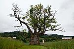 KA_110630_1921 / Quercus robur / Sommereik