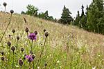 KA_110705_4385 / Briza media / Hjertegras <br /> Centaurea scabiosa / Fagerknoppurt