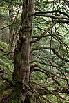 KA_110830_3045 / Taxus baccata / Barlind