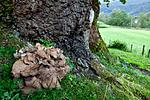 KA_110901_7350 / Grifola frondosa / Korallkjuke <br /> Quercus robur / Sommereik