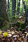 KA_110909_3199 / Cortinarius suaveolens / Lilla jordbærslørsopp