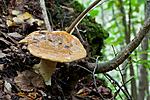 KA_110912_3239 / Cortinarius saporatus / Skrentslørsopp
