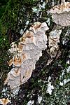 KA_110919_3519 / Pachykytospora tuberculosa / Eikegreinkjuke