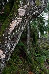 KA_110919_3522 / Pachykytospora tuberculosa / Eikegreinkjuke