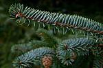 KA_111104_4265 / Picea sitchensis / Sitkagran