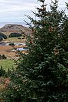 KA_111104_4266 / Picea sitchensis / Sitkagran