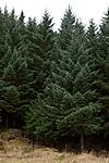 KA_111104_4267 / Picea sitchensis / Sitkagran