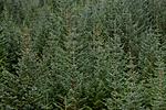 KA_111104_4268 / Picea sitchensis / Sitkagran